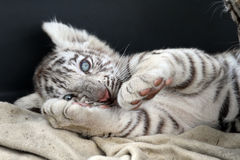 Baby white bengal tiger Stock Photography