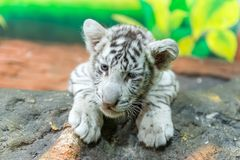 Baby white bengal tiger Royalty Free Stock Images