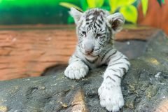 Baby white bengal tiger Royalty Free Stock Photos