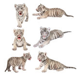Baby white bengal tiger. Isolated on white background stock photography