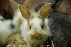 Baby White and Brown Bunny Stock Photos