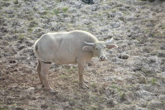 Baby white buffalo. In Thailand, believes that dilemma plays an important role. Related to the lifestyle of Thailand. Use is for agriculture workers Transport Royalty Free Stock Images