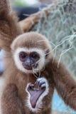 The baby of white-cheek gibbon Royalty Free Stock Photos