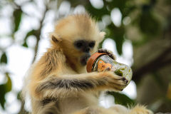 Baby white cheeked gibbon. A baby white cheeked gibbon drinking from a nursing bottle Stock Photo