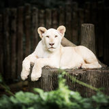 Baby white lion. Cute baby white lion in action of relaxation Royalty Free Stock Photography