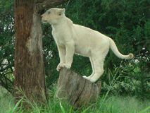 Baby white lion on tree stump in Africa Royalty Free Stock Photo