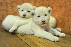 Baby white lions Stock Photo