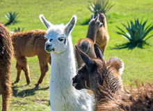 A baby white llama. In the middle of a group of brown llamas Stock Photos