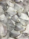 Baby white pomfret. Baby little white pomfret covered with ice at market Stock Image