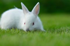 Baby white rabbit in grass Royalty Free Stock Photo