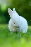 Baby white rabbit in grass Stock Photography