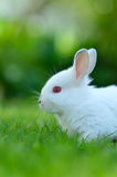 Baby white rabbit in grass Stock Images