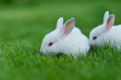 Baby white rabbit in grass Royalty Free Stock Images