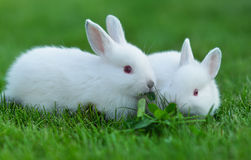 Baby white rabbit in grass Royalty Free Stock Photography