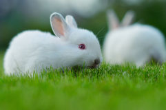 Baby white rabbit in grass Royalty Free Stock Photos