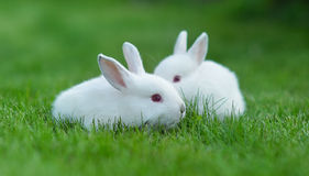Baby white rabbit in grass Stock Photos