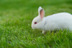 Baby white rabbit in grass Royalty Free Stock Image