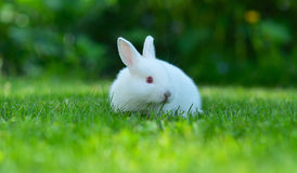Baby white rabbit in grass Stock Image