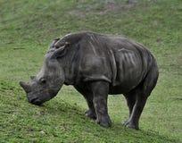 Baby White Rhino. Eating Grass royalty free stock image