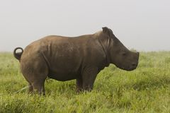 Baby White Rhino. A baby White Rhino, taken at a private reserve royalty free stock image