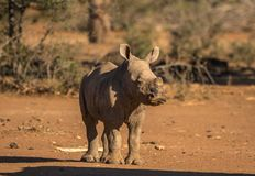 Baby White Rhino in Africa. A baby white rhino surveys the African bush near Kruger park in south Africa stock photos