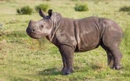 Baby White Rhino with an Attitude stock photos
