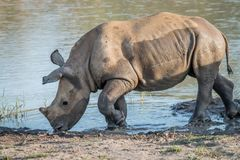 Baby White rhino calf playing in the water. South Africa royalty free stock photo