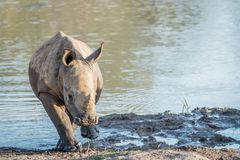 Baby White rhino calf playing in the water. South Africa stock images