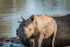 Baby White rhino calf starring at the camera stock image