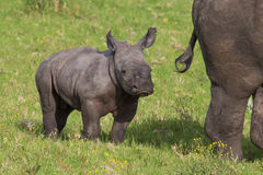 Baby White Rhino. Cute one week old baby Rhino standing behind it's mother royalty free stock image