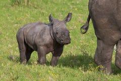 Baby White Rhino royalty free stock image