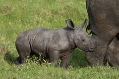 Baby White Rhino. Cute one week old baby Rhino standing behind it's mother stock photo