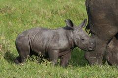 Baby White Rhino stock photo