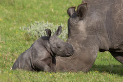 Baby White Rhino Stock Photo