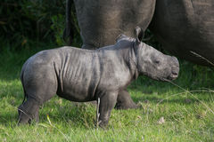 Baby White Rhino. Cute one week old baby Rhino standing behind it's mother stock photography
