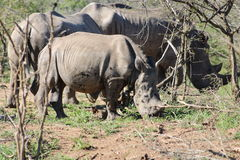 Baby White Rhino and Family Royalty Free Stock Photos