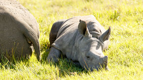 Baby White Rhino. Image Taken at The Kragga Kamma Game Park royalty free stock image