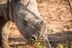 Baby White rhino in the Kruger. Royalty Free Stock Photography