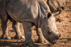 Baby White rhino in the Kruger. Royalty Free Stock Photos