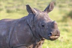Baby White Rhino Portrait royalty free stock photography