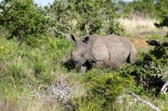 Baby white rhino / rhinoceros calf. Royalty Free Stock Photo