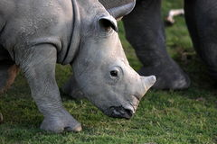 Baby white rhino / rhinoceros calf. Stock Photo