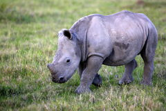 Baby white rhino / rhinoceros calf. Royalty Free Stock Images