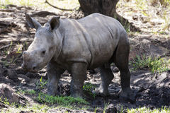 Baby white rhino. Ceros - Witrenoster (Ceratotherium simum) in a game park in South Africa Stock Photos