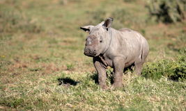 A baby white rhino / rhinoceros Royalty Free Stock Images