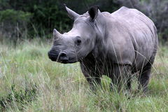 A baby white rhino / rhinoceros Royalty Free Stock Photography