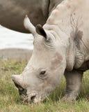 Baby White Rhino Stock Photography