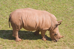 Baby White Rhinoceros Stock Images