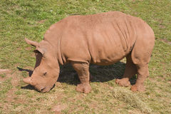 Baby White Rhinoceros Stock Photos