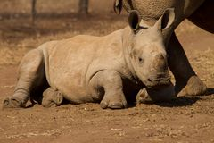 Baby white rhinoceros Royalty Free Stock Photos